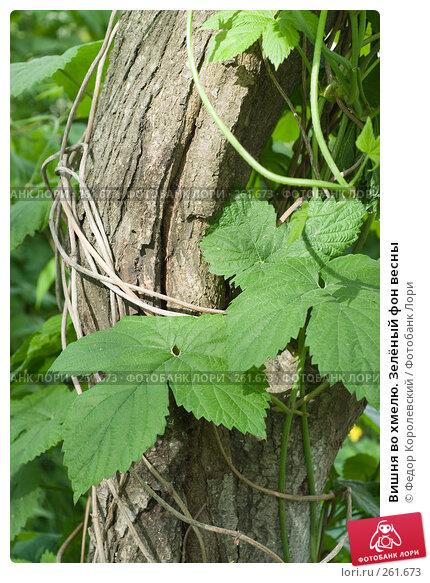 Вишня во хмелю. Зелёный фон весны, фото № 261673, снято 24 апреля 2008 г. (c) Федор Королевский / Фотобанк Лори