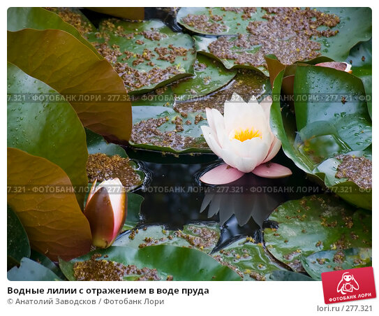 Водные лилии с отражением в воде пруда, фото № 277321, снято 2 июня 2005 г. (c) Анатолий Заводсков / Фотобанк Лори