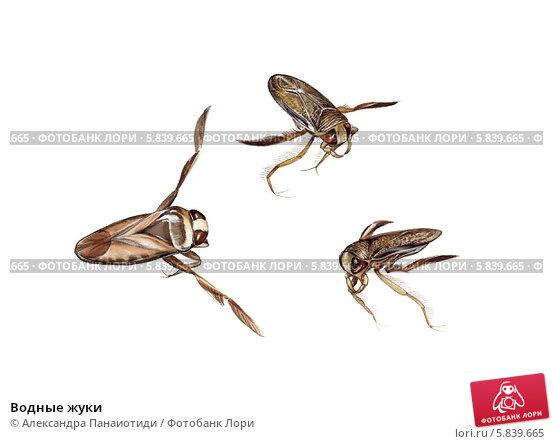 Купить «Водные жуки», иллюстрация № 5839665 (c) Александра Панаиотиди / Фотобанк Лори