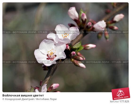Войлочная вишня цветет, фото № 177829, снято 27 апреля 2007 г. (c) Кондорский Дмитрий / Фотобанк Лори