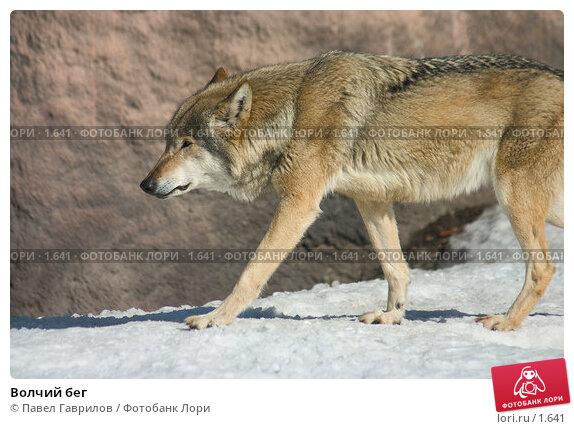 Купить «Волчий бег», фото № 1641, снято 23 марта 2018 г. (c) Павел Гаврилов / Фотобанк Лори