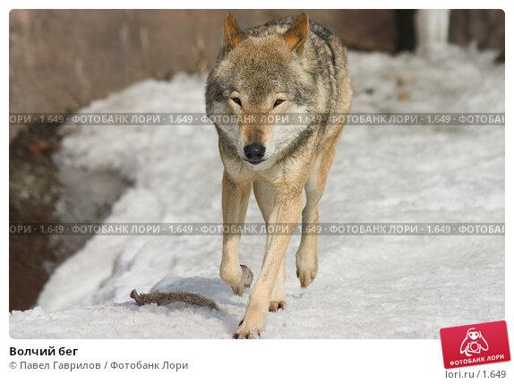 Волчий бег, фото № 1649, снято 30 апреля 2017 г. (c) Павел Гаврилов / Фотобанк Лори