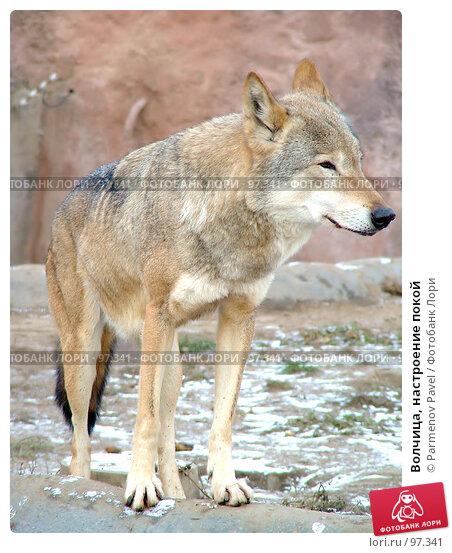 Волчица, настроение покой, фото № 97341, снято 5 ноября 2006 г. (c) Parmenov Pavel / Фотобанк Лори