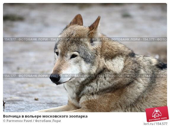 Волчица в вольере московского зоопарка, фото № 154577, снято 11 декабря 2007 г. (c) Parmenov Pavel / Фотобанк Лори