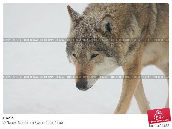 Волк, фото № 1637, снято 23 июня 2017 г. (c) Павел Гаврилов / Фотобанк Лори