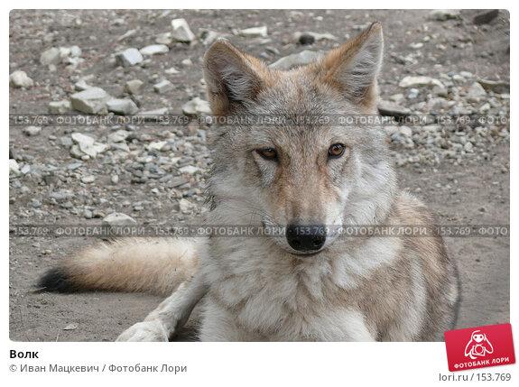 Волк, фото № 153769, снято 23 сентября 2007 г. (c) Иван Мацкевич / Фотобанк Лори