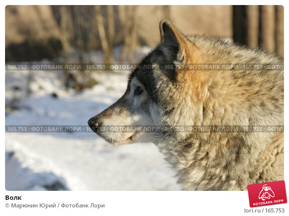 Волк, фото № 165753, снято 15 декабря 2007 г. (c) Марюнин Юрий / Фотобанк Лори
