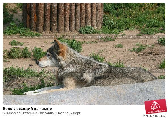 Волк, лежащий на камне, фото № 161437, снято 11 июля 2007 г. (c) Карасева Екатерина Олеговна / Фотобанк Лори