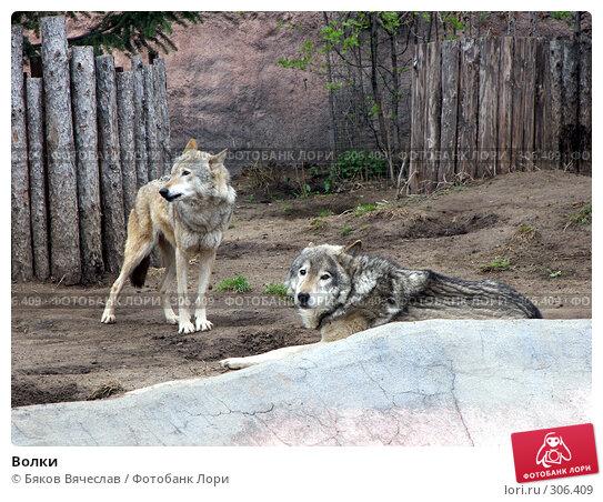 Купить «Волки», фото № 306409, снято 16 апреля 2008 г. (c) Бяков Вячеслав / Фотобанк Лори