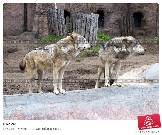 Волки, фото № 306473, снято 16 апреля 2008 г. (c) Бяков Вячеслав / Фотобанк Лори