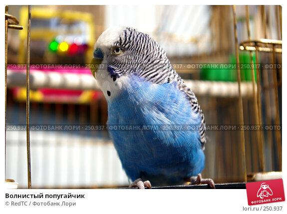 Волнистый попугайчик, фото № 250937, снято 14 апреля 2008 г. (c) RedTC / Фотобанк Лори