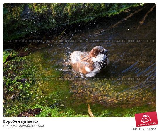 Воробей купается, фото № 147953, снято 2 апреля 2007 г. (c) hunta / Фотобанк Лори