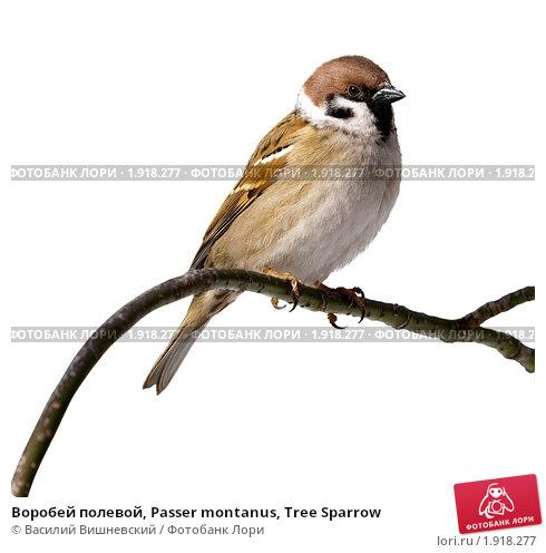 Купить «Воробей полевой, Passer montanus, Tree Sparrow», фото № 1918277, снято 18 марта 2009 г. (c) Василий Вишневский / Фотобанк Лори
