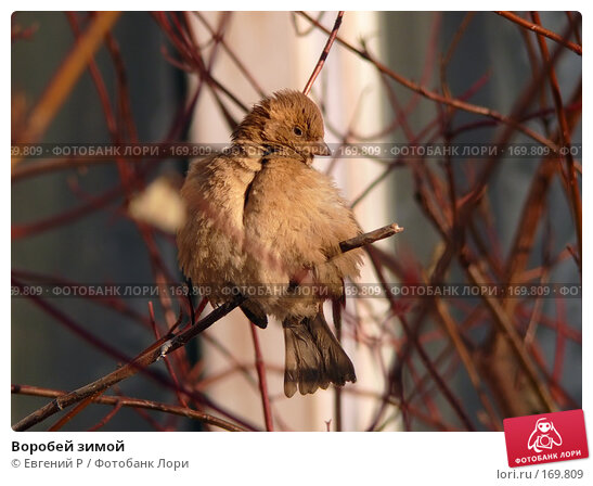 Купить «Воробей зимой», фото № 169809, снято 7 января 2008 г. (c) Евгений Р / Фотобанк Лори