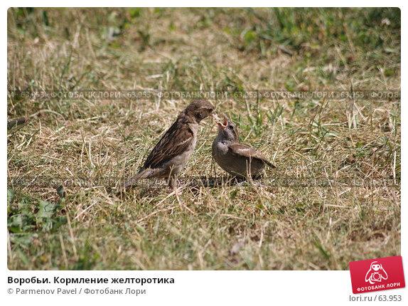Воробьи. Кормление желторотика, фото № 63953, снято 23 июня 2007 г. (c) Parmenov Pavel / Фотобанк Лори