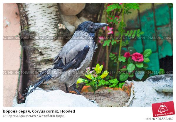Ворона серая, Corvus cornix, Hooded, фото № 26552469, снято 18 июня 2017 г. (c) Сергей Афанасьев / Фотобанк Лори
