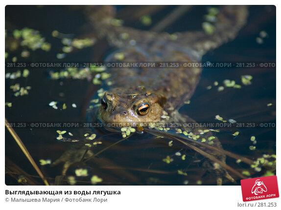 Выглядывающая из воды лягушка, фото № 281253, снято 1 мая 2008 г. (c) Малышева Мария / Фотобанк Лори