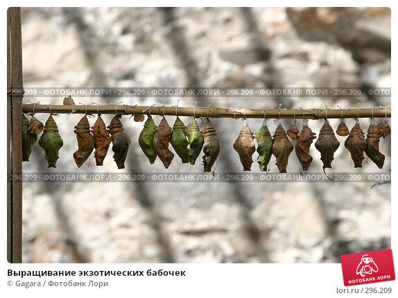Выращивание экзотических бабочек, фото № 296209, снято 10 мая 2007 г. (c) Gagara / Фотобанк Лори