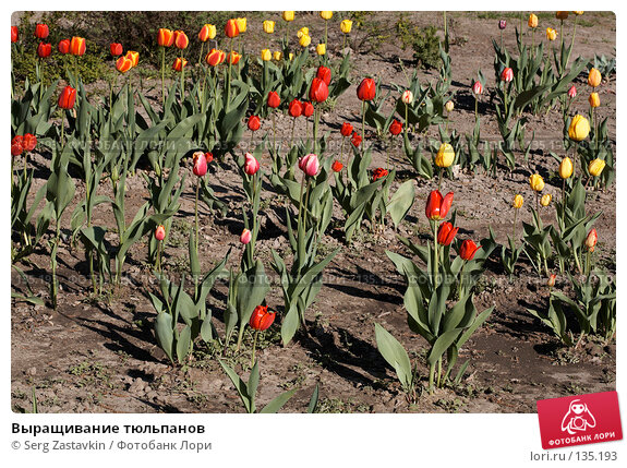 Выращивание тюльпанов, фото № 135193, снято 31 мая 2006 г. (c) Serg Zastavkin / Фотобанк Лори