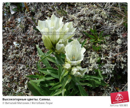 Купить «Высокогорные цветы. Саяны.», фото № 69981, снято 21 июля 2007 г. (c) Виталий Матонин / Фотобанк Лори