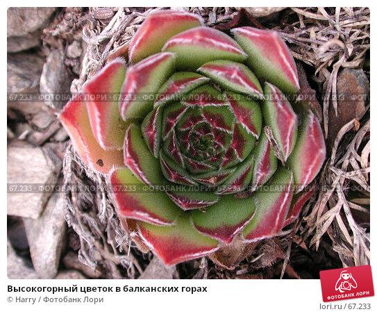 Высокогорный цветок в балканских горах, фото № 67233, снято 16 августа 2004 г. (c) Harry / Фотобанк Лори