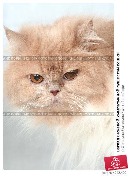 Взгляд бежевой  симпатичной пушистой кошки, фото № 242409, снято 19 марта 2008 г. (c) Останина Екатерина / Фотобанк Лори