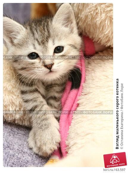 Взгляд маленького серого котенка, фото № 63597, снято 10 июля 2007 г. (c) Останина Екатерина / Фотобанк Лори