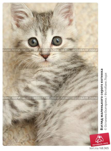 Взгляд маленького серого котенка, фото № 68965, снято 23 июля 2007 г. (c) Останина Екатерина / Фотобанк Лори