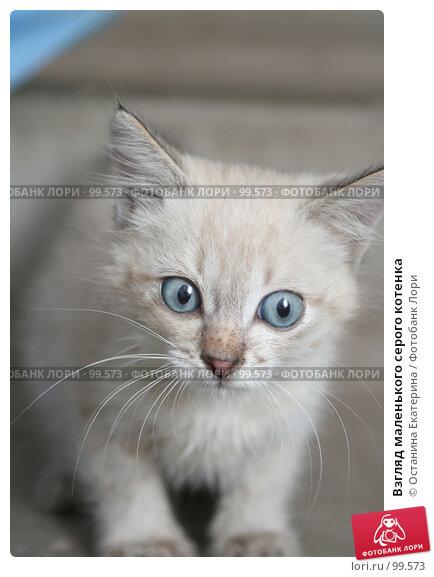Взгляд маленького серого котенка, фото № 99573, снято 13 сентября 2007 г. (c) Останина Екатерина / Фотобанк Лори