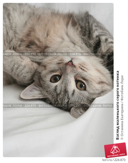 Купить «Взгляд маленького серого котенка», фото № 224873, снято 20 ноября 2007 г. (c) Останина Екатерина / Фотобанк Лори