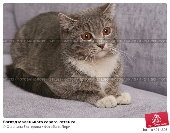 Взгляд маленького серого котенка, фото № 241393, снято 22 февраля 2008 г. (c) Останина Екатерина / Фотобанк Лори