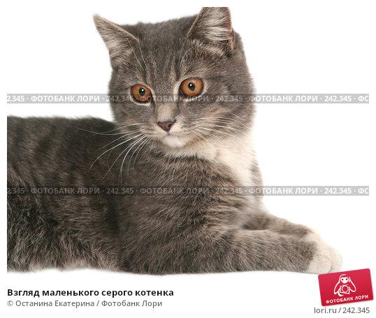 Купить «Взгляд маленького серого котенка», фото № 242345, снято 22 февраля 2008 г. (c) Останина Екатерина / Фотобанк Лори