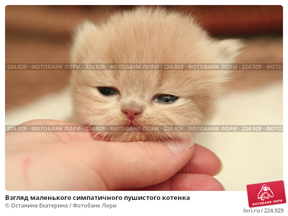 Взгляд маленького симпатичного пушистого котенка, фото № 224929, снято 4 марта 2008 г. (c) Останина Екатерина / Фотобанк Лори