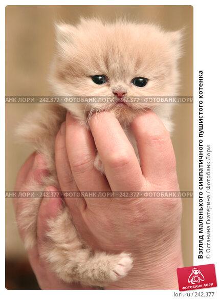 Взгляд маленького симпатичного пушистого котенка, фото № 242377, снято 14 марта 2008 г. (c) Останина Екатерина / Фотобанк Лори