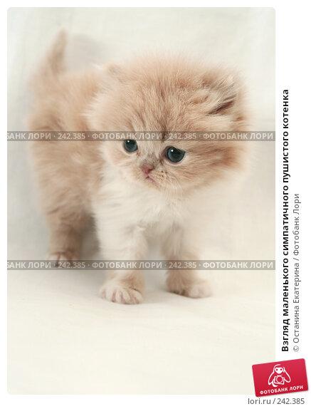 Взгляд маленького симпатичного пушистого котенка, фото № 242385, снято 17 марта 2008 г. (c) Останина Екатерина / Фотобанк Лори