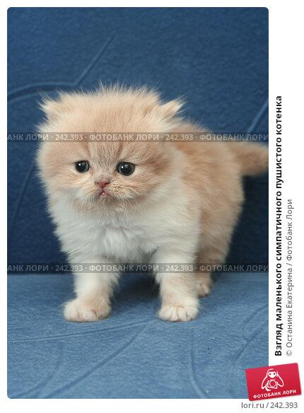 Купить «Взгляд маленького симпатичного пушистого котенка», фото № 242393, снято 18 марта 2008 г. (c) Останина Екатерина / Фотобанк Лори