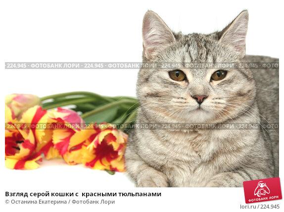 Взгляд серой кошки с  красными тюльпанами, фото № 224945, снято 7 марта 2008 г. (c) Останина Екатерина / Фотобанк Лори