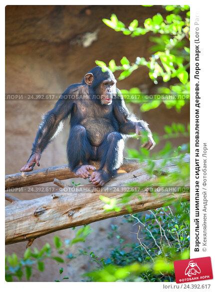 Купить «Взрослый шимпанзе сидит на поваленом дереве. Лоро парк (Loro Parque zoo), Санта Круз, Тенерифе, Канарские острова», фото № 24392617, снято 4 января 2016 г. (c) Кекяляйнен Андрей / Фотобанк Лори