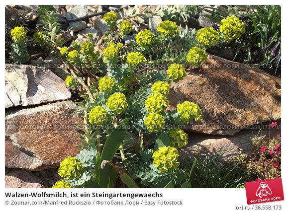 Walzen-Wolfsmilch, ist ein Steingartengewaechs. Стоковое фото, фотограф Zoonar.com/Manfred Ruckszio / easy Fotostock / Фотобанк Лори