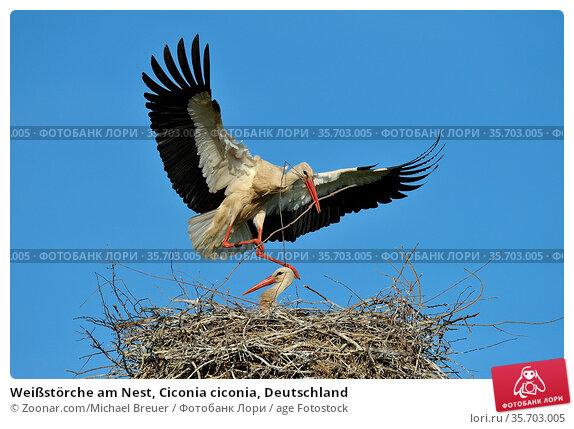 Weißstörche am Nest, Ciconia ciconia, Deutschland. Стоковое фото, фотограф Zoonar.com/Michael Breuer / age Fotostock / Фотобанк Лори