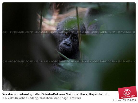 Western lowland gorilla. Odzala-Kokoua National Park, Republic of... Стоковое фото, фотограф Nicolas Deloche / Godong / age Fotostock / Фотобанк Лори