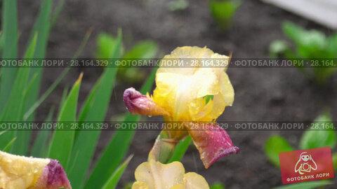 Купить «Wet yellow-purple iris under rain», видеоролик № 28164329, снято 3 марта 2018 г. (c) Игорь Жоров / Фотобанк Лори