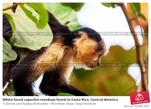 White faced capuchin monkeys forest in Costa Rica, Central America. Стоковое фото, фотограф Zoonar.com/Galyna Andrushko / easy Fotostock / Фотобанк Лори