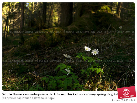 Купить «White flowers snowdrops in a dark forest thicket on a sunny spring day, taken from the ground level», фото № 28421249, снято 12 мая 2018 г. (c) Евгений Харитонов / Фотобанк Лори