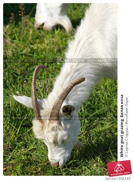 White goat grazing  Белая коза, фото № 312133, снято 4 июня 2008 г. (c) Сергей Старуш / Фотобанк Лори