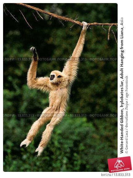 Купить «White-Handed Gibbon, hylobates lar, Adult Hanging from Liana, Asia», фото № 13833313, снято 21 августа 2018 г. (c) age Fotostock / Фотобанк Лори