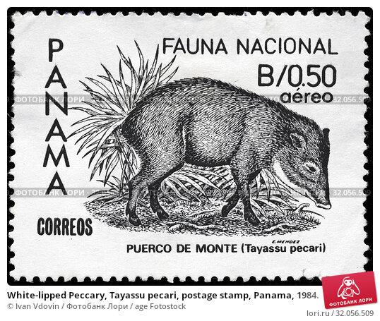 White-lipped Peccary, Tayassu pecari, postage stamp, Panama, 1984. (2014 год). Редакционное фото, фотограф Ivan Vdovin / age Fotostock / Фотобанк Лори