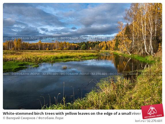Купить «White-stemmed birch trees with yellow leaves on the edge of a small river», фото № 32270601, снято 5 октября 2019 г. (c) Валерий Смирнов / Фотобанк Лори