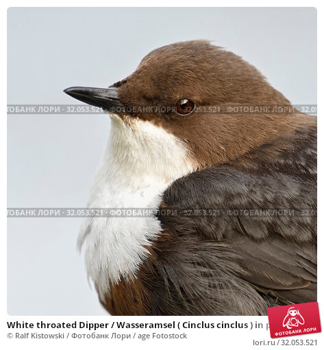 White throated Dipper / Wasseramsel ( Cinclus cinclus ) in portrait, sitting and watching, very detailed close-up, wildlife, Europe. Стоковое фото, фотограф Ralf Kistowski / age Fotostock / Фотобанк Лори