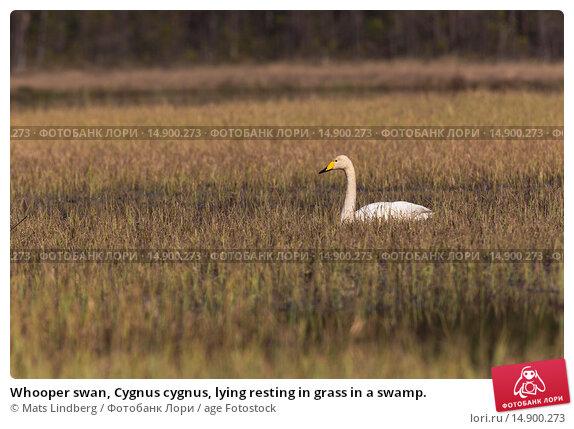 Купить «Whooper swan, Cygnus cygnus, lying resting in grass in a swamp.», фото № 14900273, снято 21 июня 2018 г. (c) age Fotostock / Фотобанк Лори